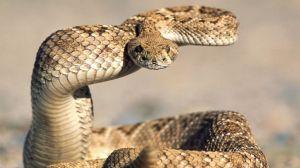 16-03-21-rattlesnakes