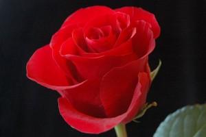 17-01-09-unfold-the-rosebud